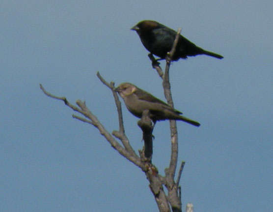 Brown-headed Cowbirds (male and female)