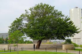 Survivor Tree at the Oklahoma City National Memorial