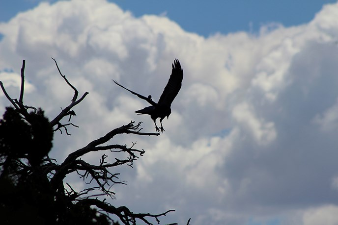 Silhouette of a raven taking off from a dead tree snag with a cloudy sky in the background