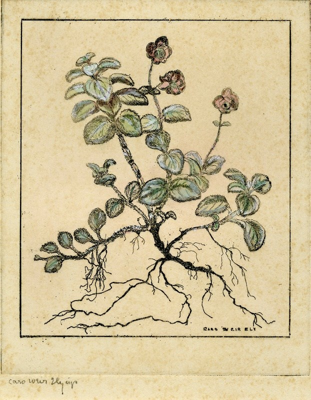 hand-colored artist's etching of the dittany plant. Roots are visible.  The plant has small green leaves and small purple flowers