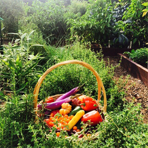 A basket of vegetables and squash sits in the White House Kitchen Garden.