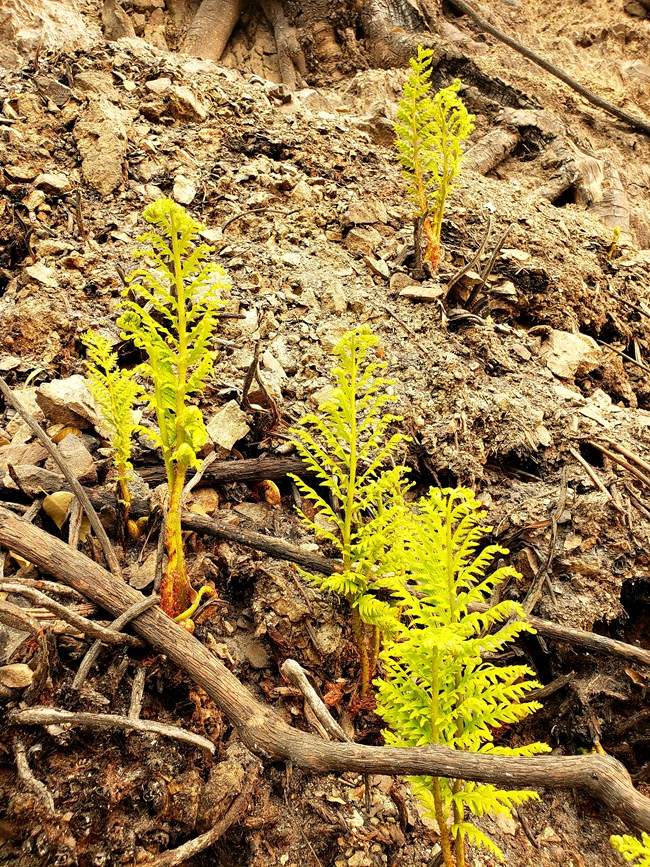 Baby fern regrowing after Carr Fire
