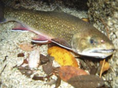 Brook trout swimming in a creek