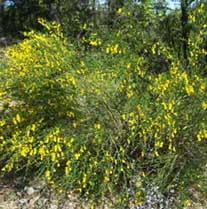 The invasive plant Scotch Broom growing in the park