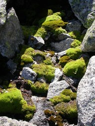 Bryophytes growing on boulders