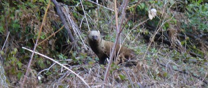 Pacific fisher at Brandy Creek