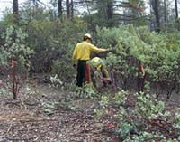 firefighters hand thinning shrubs