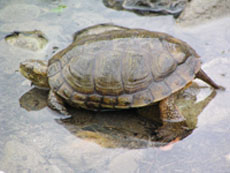 Western pond turtle at the edge of a creek