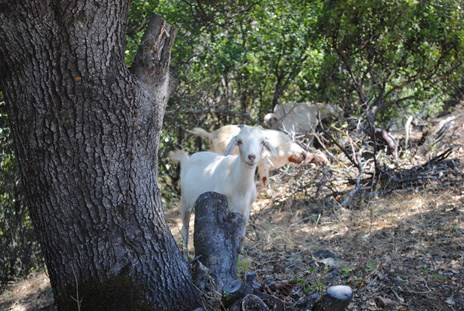 Goats browse vegetation at Whiskeytown