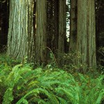 Forest floor amidst the mighty redwoods
