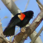 Red-winged Blackbird in tree