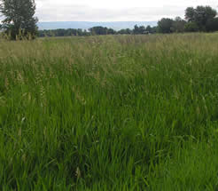 lush looking field of reed canarygrass