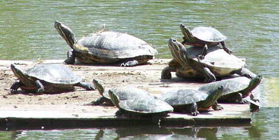 several turtles sunning themselves on a floating board