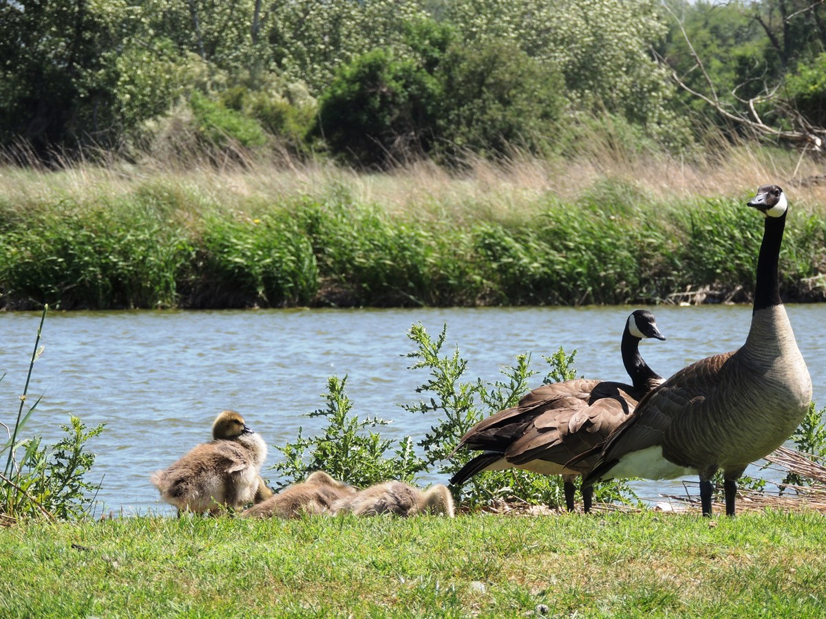Pair of geese with goslings