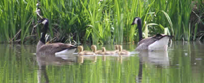 Two Canada geese with five goslings swimming on pond.