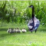Canada goose with five goslings.