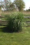 Giant wild rye growing next to fence. Height of the main plant is the same as the height of the fence.