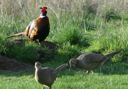 Male ring-necked pheasant and two female pheasants.