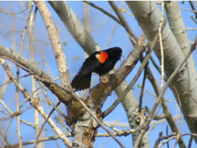 Male red-winged blackbird sitting in tree. Red epaulet clearly visible.