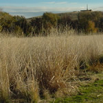 View toward hill with native grasses in foreground.