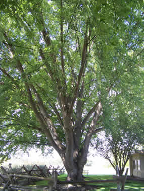 Silver Maple Acer Saccharinum Whitman Mission National