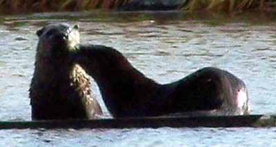 two otters on the board