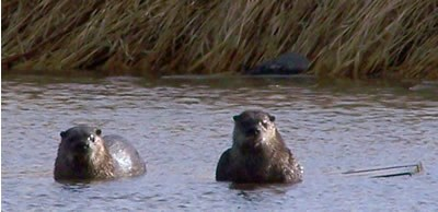 board sinks below the water due to the weight of the two otters now on the floating board