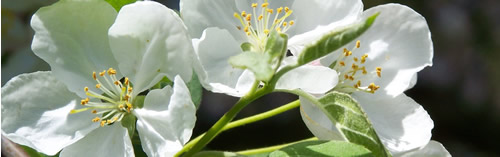 close-up of 5-petaled apple flowers. Yellow stamen in center.