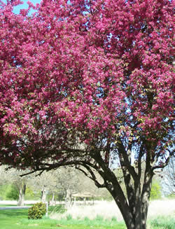 Fuchsia colored flowers totally cover a small crab apple tree.
