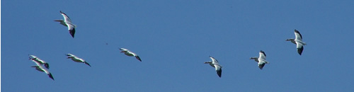 Eight pelicans fly overhead