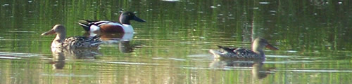 Three Northern Shovelers float on the park's pond.