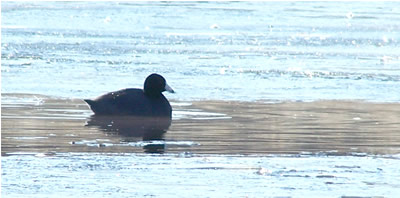 American coot on pond 2-1-11
