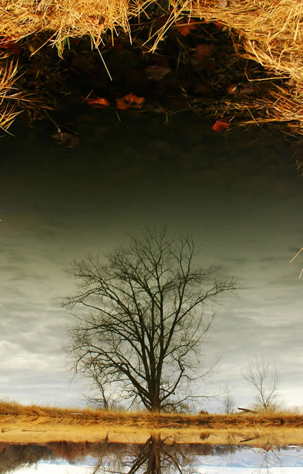tree reflected in pond