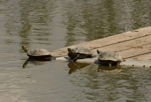 Three turtles sitting on wooden raft floating in pond