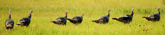 Turkeys walking single file through grass