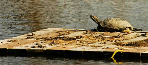A turtle sitting on a wooden raft.