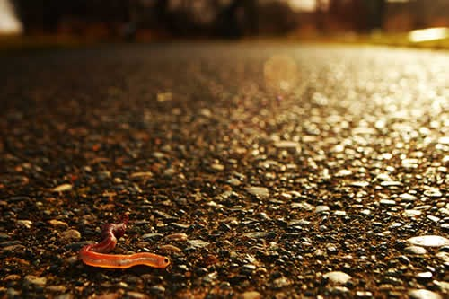 Red, almost glowing, translucent worm in foreground. Sunlight highlights rocks in the pavement he is crawling upon.