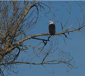 Bald eagle sitting high up in a tree