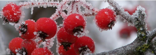 small ice crystals cover the red berries of a hawthorn tree