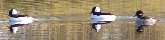 Buffleheads swim on pond