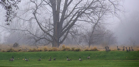 geese near Mill Pond