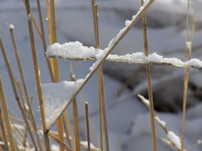 grass stalks are lightly edged with snow