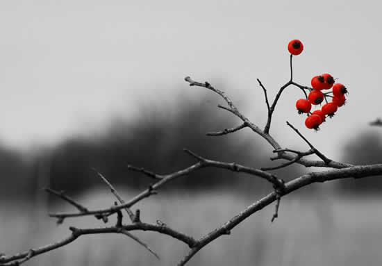 red hawthorn berries are the only colored elements in this black and white photo