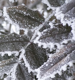 ice forms rounded clumps on edge of leaves