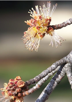 close-up of maple flowers at end of branch