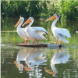 three pelicans standing on a board in the Mill Pond