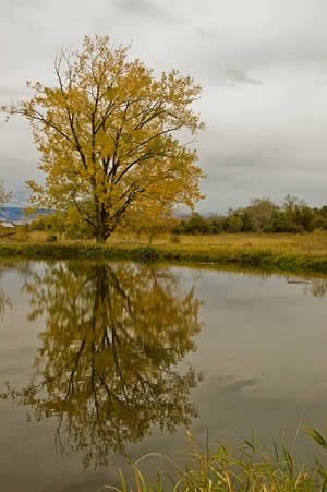 single cottonwood by pond