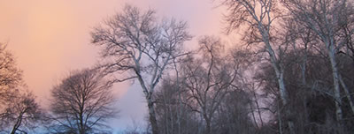pink clouds glow behind the tree tops