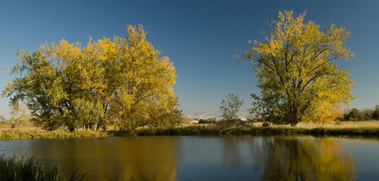 two cottonwoods by mill pond