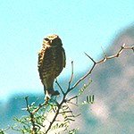 Great horned owl on a mesquite plant.